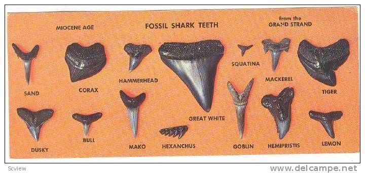 Shark Teeth Myrtle Beach