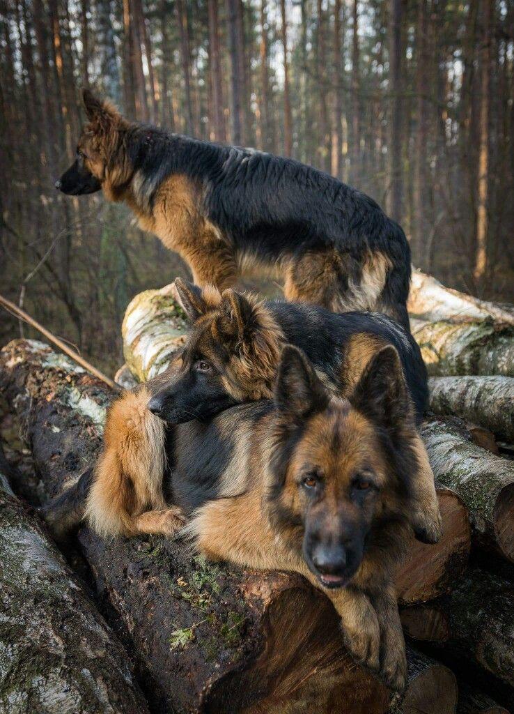 Pin Von Marianne Runkel Auf Deutschland Schaferhunde Deutsch Schaferhunde Hunde