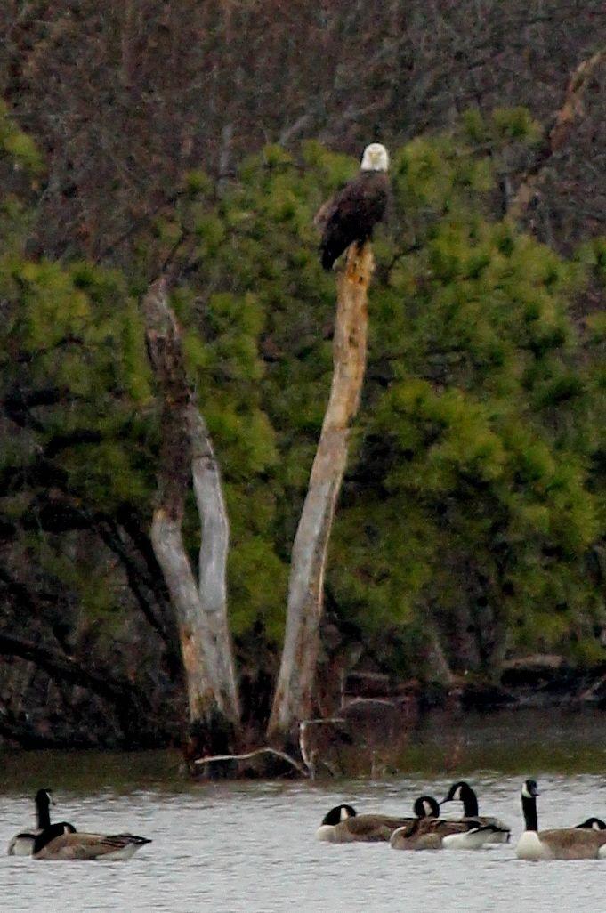 Bald Eagle Pemberton Lake, NJ Bald eagle, Beautiful