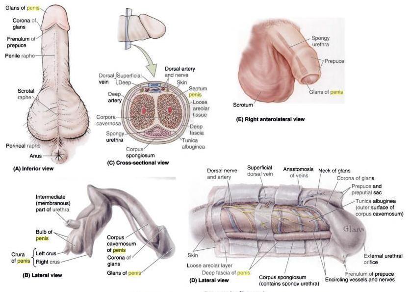 Male Penis Surgery An Anatomy Of A Penis 9kurul Pinterest