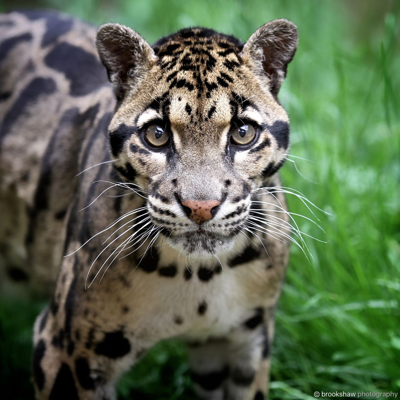 Magical Nature Tour • brookshawphotography: A clouded leopard named Ben...