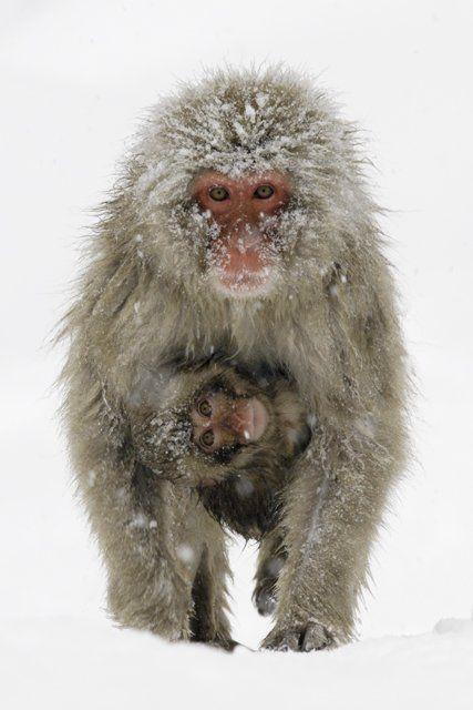 Snow monkey and baby by Jigokudani Yaen-koen