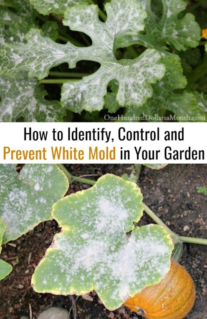How To Identify Control And Prevent White Mold In Your Garden One Hundred Dollars A Month Powdery Mildew Garden Pests Garden Soil