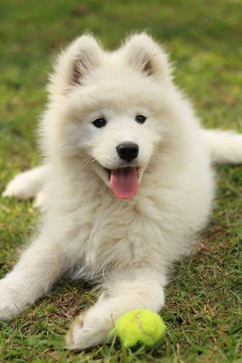 Top Samoyed Chubby Adorable Dog - 2825425cc8d22750de142f39f489cb83  Gallery_662325  .jpg