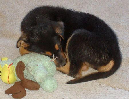 Townes the Australian Shepherd / Rottweiler mix ...Australian Shepherd Rottweiler Mix Information