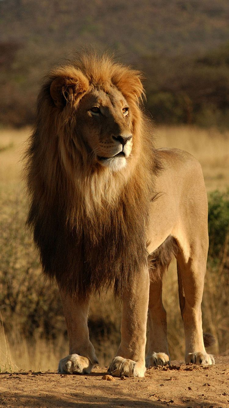 When A Male African Lion Takes Over A Pride He Will Kill Any Cubs
