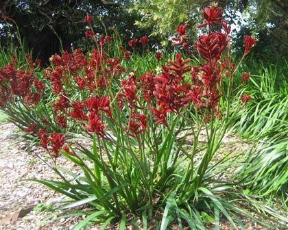 Anigozanthos Flavidus Big Red Kangaroo Paw Tubestock In 2020 Kangaroo Paw Red Plants Red Kangaroo