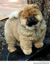 Image Result For Pug And Chow Chow Mix Cute Animals Animals Pets