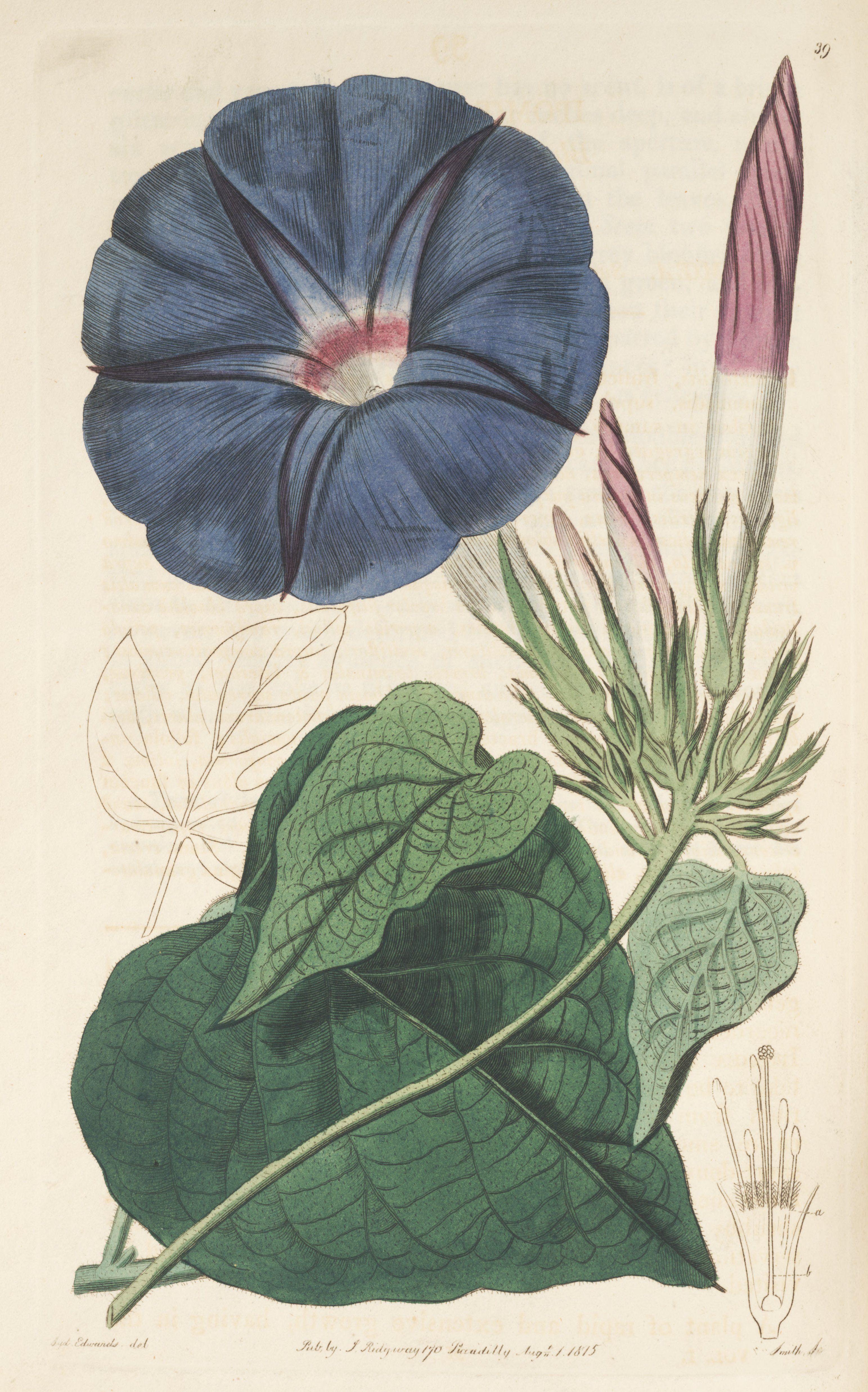 Ipomoea indica burm merr as ipomoea mutabilis ker gawl blue ipomoea indica burm merr as ipomoea mutabilis ker gawl blue dawn flower morning glory botanical register vol 1 t 39 1815 s edwards izmirmasajfo