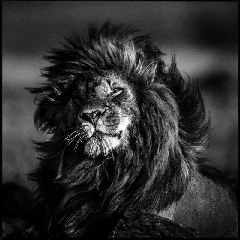 Portraits of lion on Behance