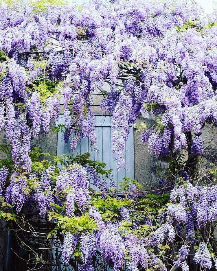 Pin By Diane Gaul On Wisteria Lane Wisteria Wisteria Garden Charming Garden