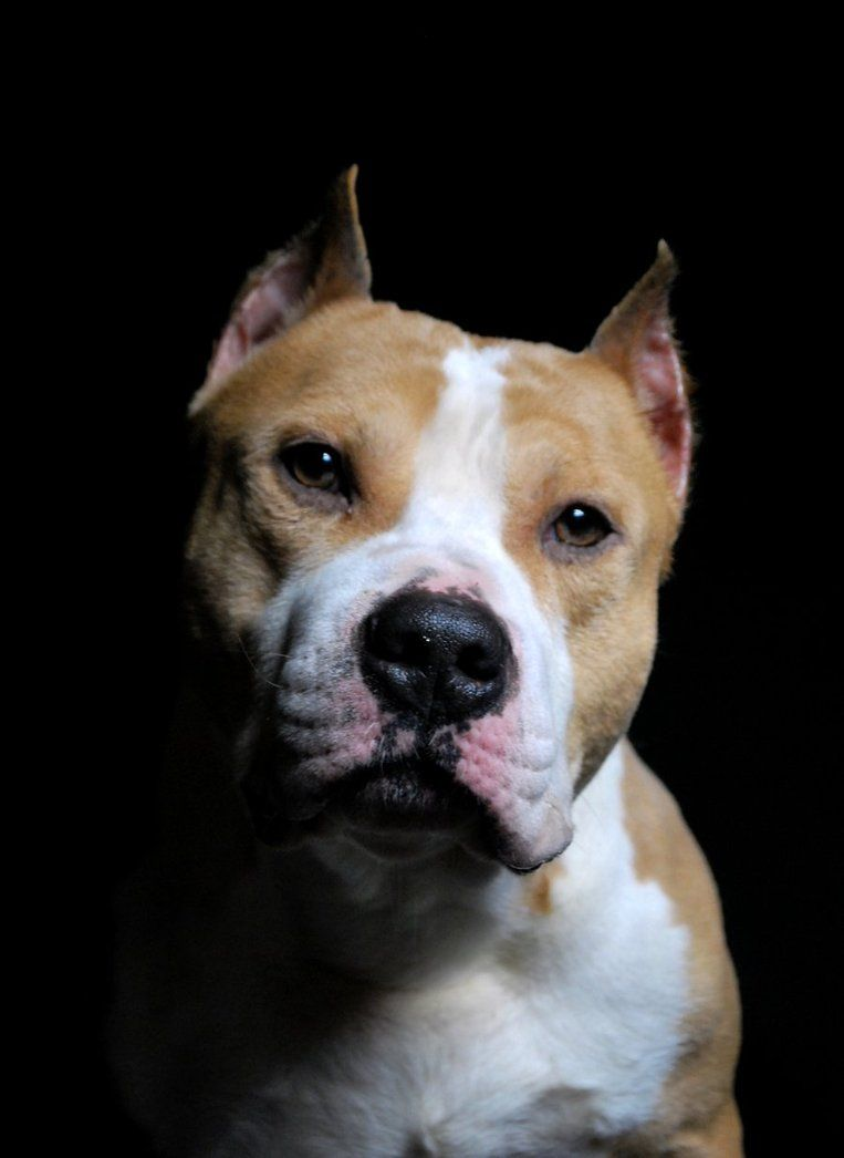 American Staffordshire Terrier By Babistyle On Deviantart Dog