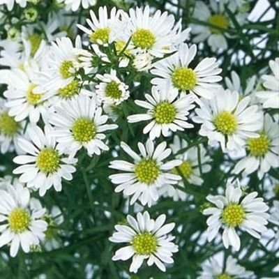 White Montecasino Asters Flower Pinterest Flowers Aster And