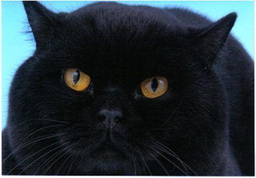 Bella grasso nero micio