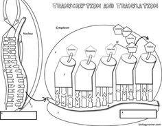 Coloring worksheet that explains transcription and
