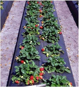 Growing Strawberries In Florida How To University Of Uf