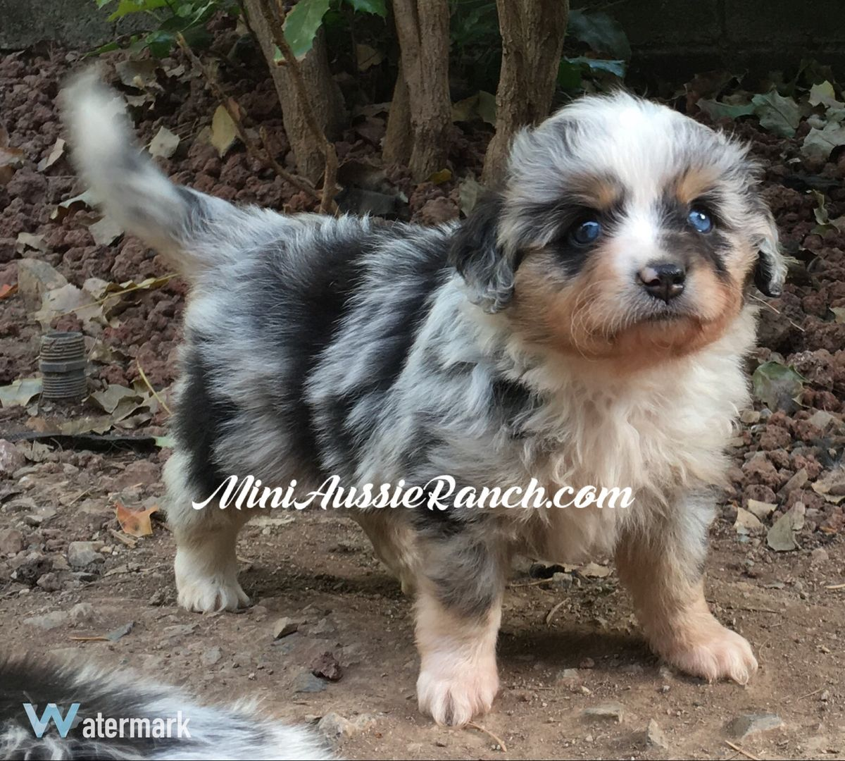 Miniature Australian Shepherd Beautiful dogs, Puppies
