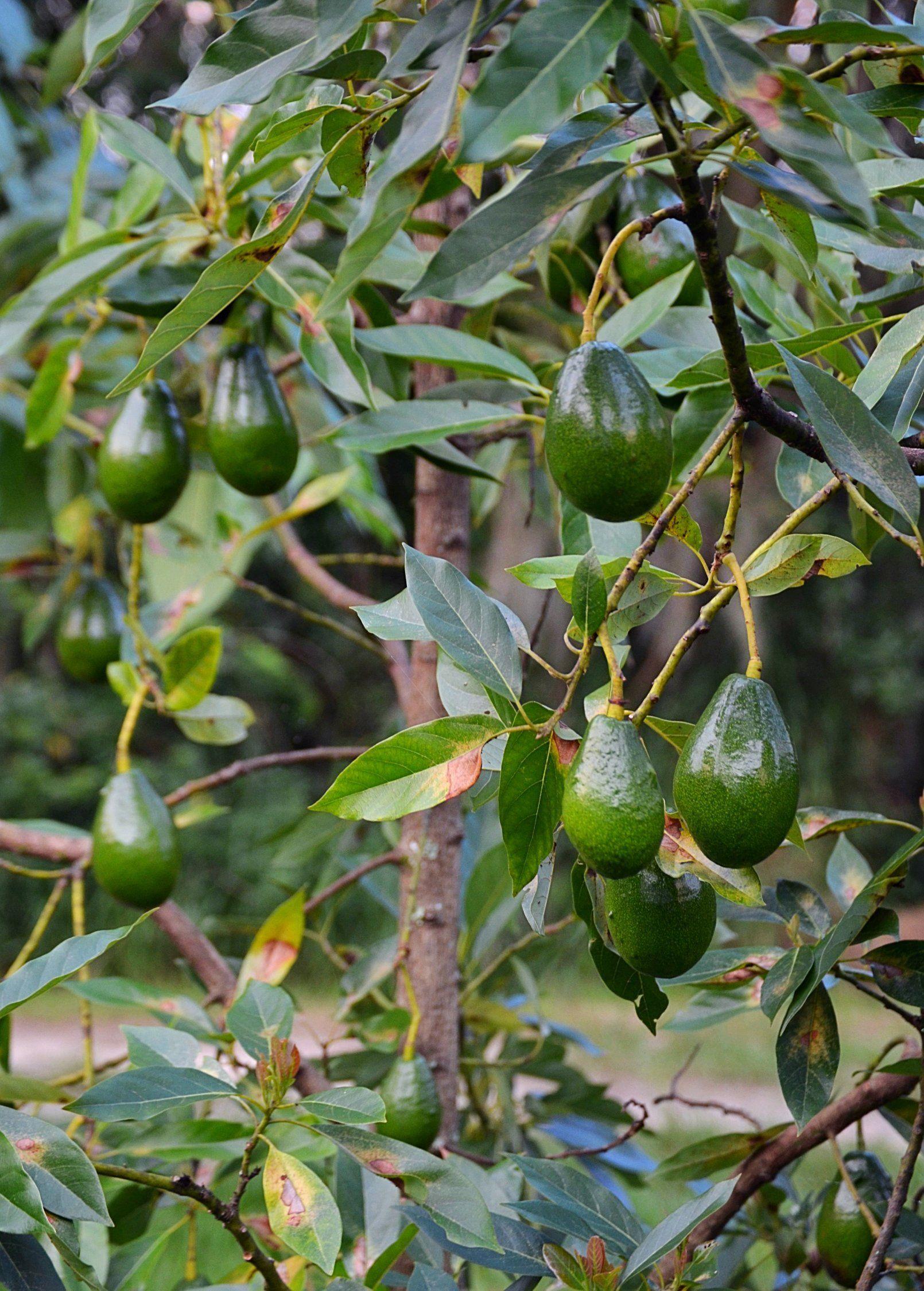 Avocado 'Brogdon' (Persia americana)   Shop Sow Exotic