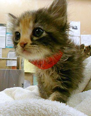 Lauderhill Fl Calico Meet Cali A Kitten For Adoption Kitten Adoption Pet Adoption Calico Kitten