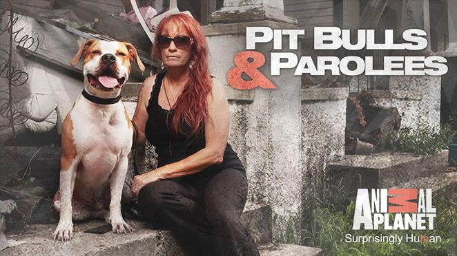 Pit Bulls And Parolees Is Officially Renewed For Season 8 To Air In 2016 Pit Bulls Parolees Animal Planet Pitbulls