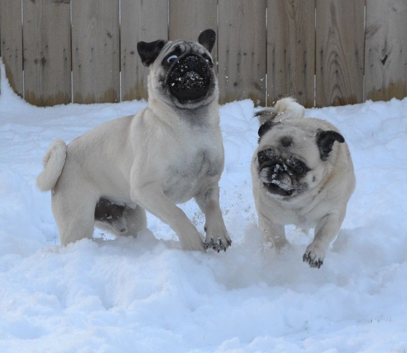 Pug Snow Plows Bailey Boo Playing In The Snow Pugs Dog Puppy