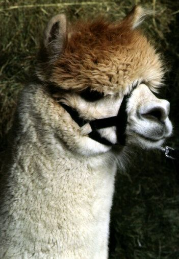 Llamas With Afros All muzzled up ...