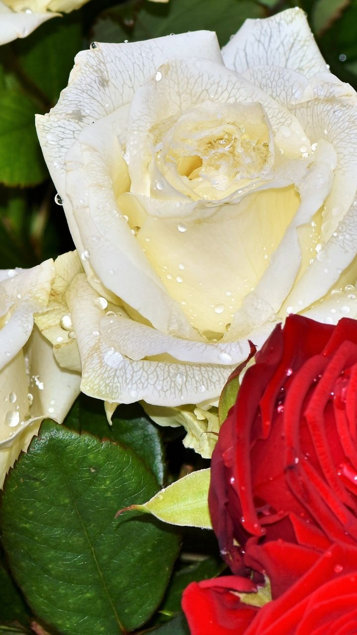Fresh Roses White Red Flowers Drops 720x1280 Wallpaper