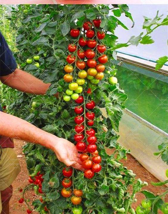 Visit To Buy 200 Tomato Seeds Rare Mini Climbing Tomato 400 x 300