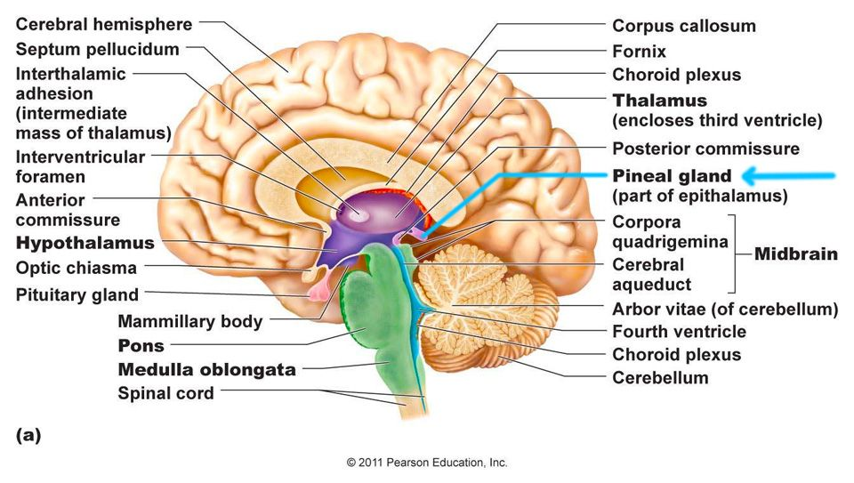 What Are Pineal Glands? Pineal glands, which can also be termed as ...