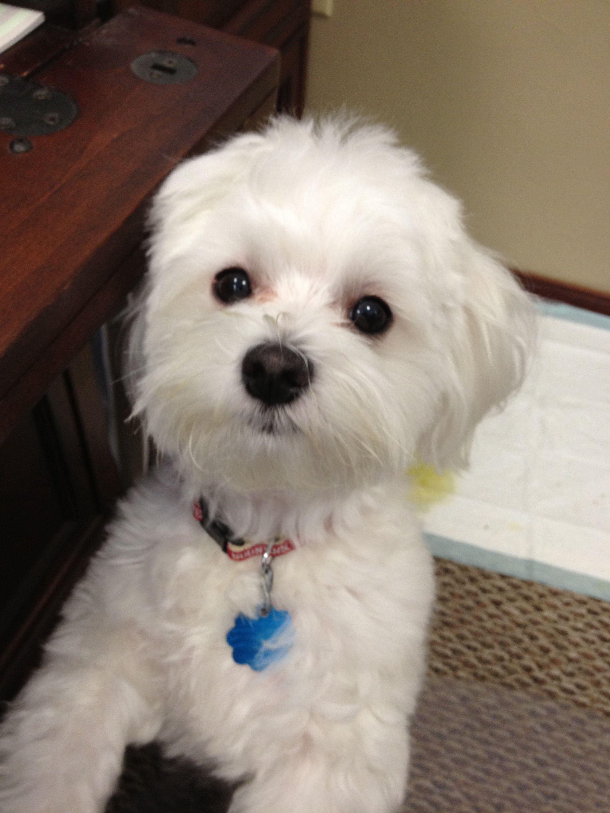 What A Precious Little Face Tiere Hund Hunde Malteser