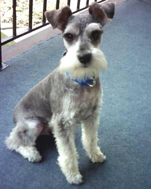 In honor of my boyfriend and his Schnauzer Teddy :D