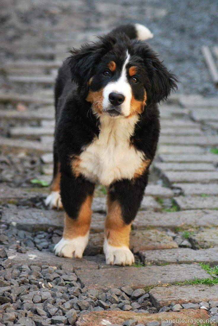 rajce baby puppy Bernese mountain dog - Tap the pin for the most adorable pawtastic  fur baby apparel! You'll love the dog clothes and cat clothes!
