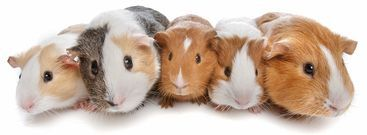 Why you Need more than one Guinea pig and Introducing new guinea pigs