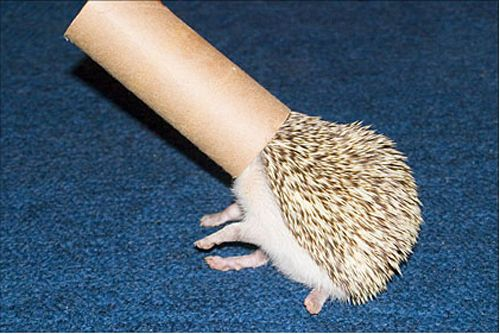 Hedgehog with toilet paper tube