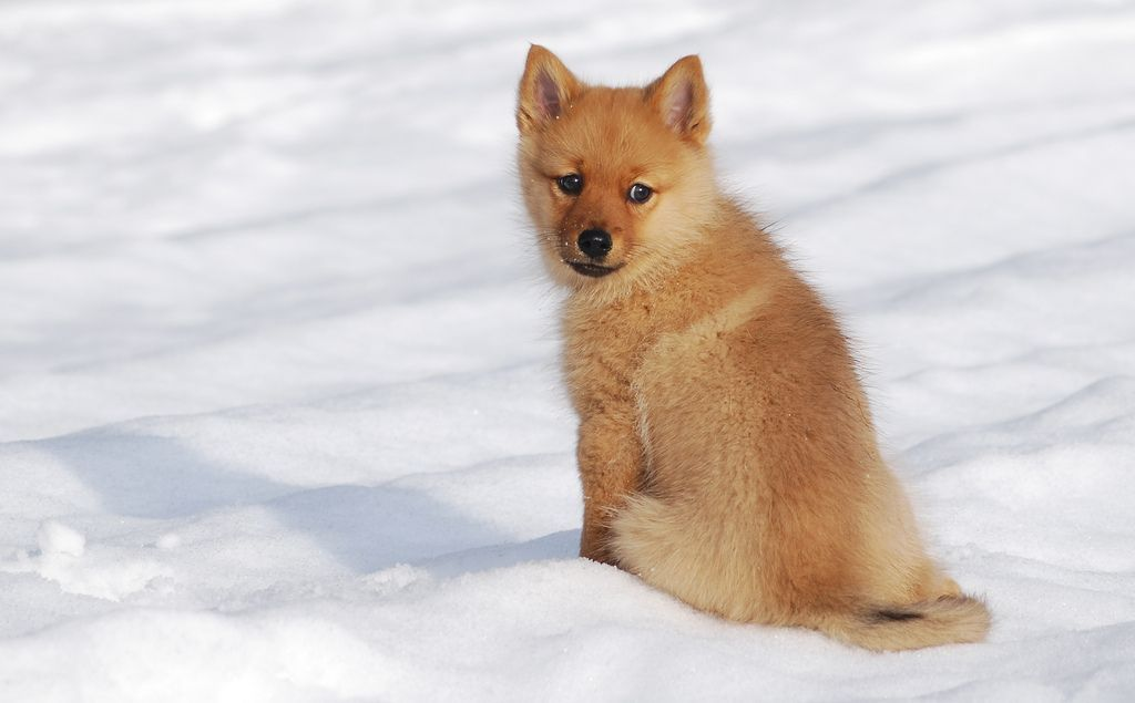 24 Finnish Spitz Dog Breed Nuuska Kuvat