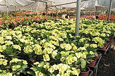 Tropica Nursery Adenium, Euphorbia, Desert-Rose, Hybrids