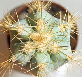 Multiplicaci n cactus suculentas infocactus brinda for Informacion sobre el cactus