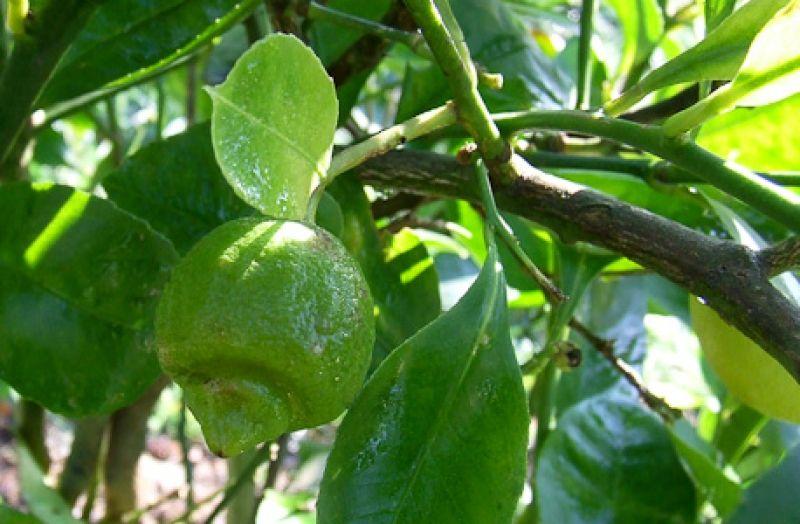 Como usar Citrinos como plantas de interior  Veja mais em http://www.comofazer.org/casa-e-jardim/como-usar-citrinos-como-plantas-interior/