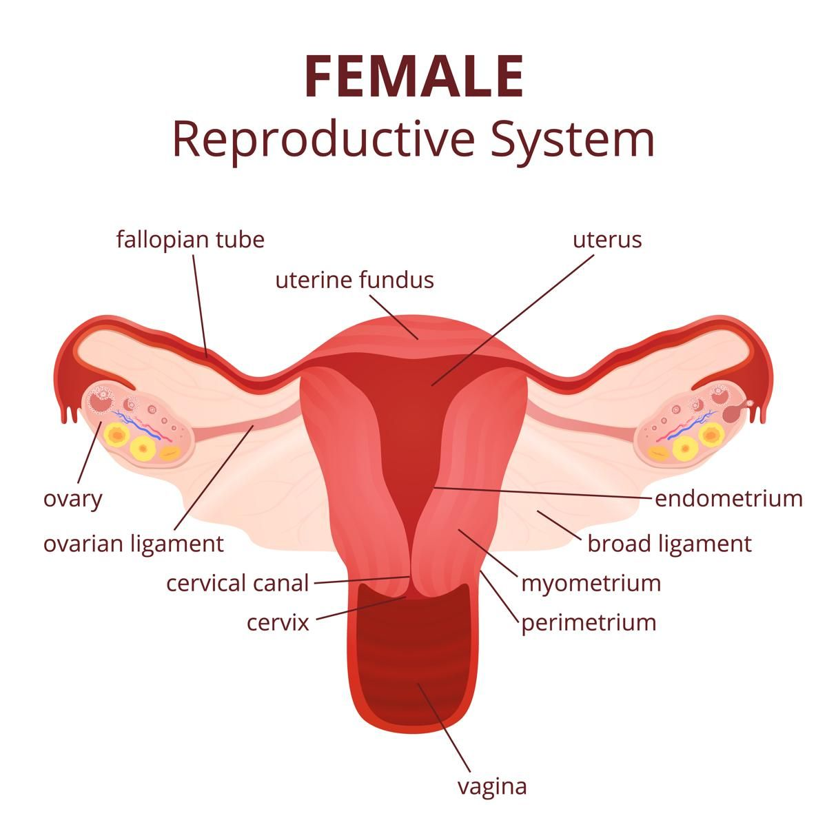 Image Of Female Reproductive System Diagram
