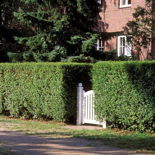 hecke richtig schneiden buchsbaum hecke buxus with hecke. Black Bedroom Furniture Sets. Home Design Ideas