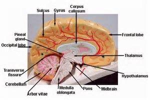 image result for labeled brain model 3d detailed anatomy brainimage result for labeled brain model 3d detailed