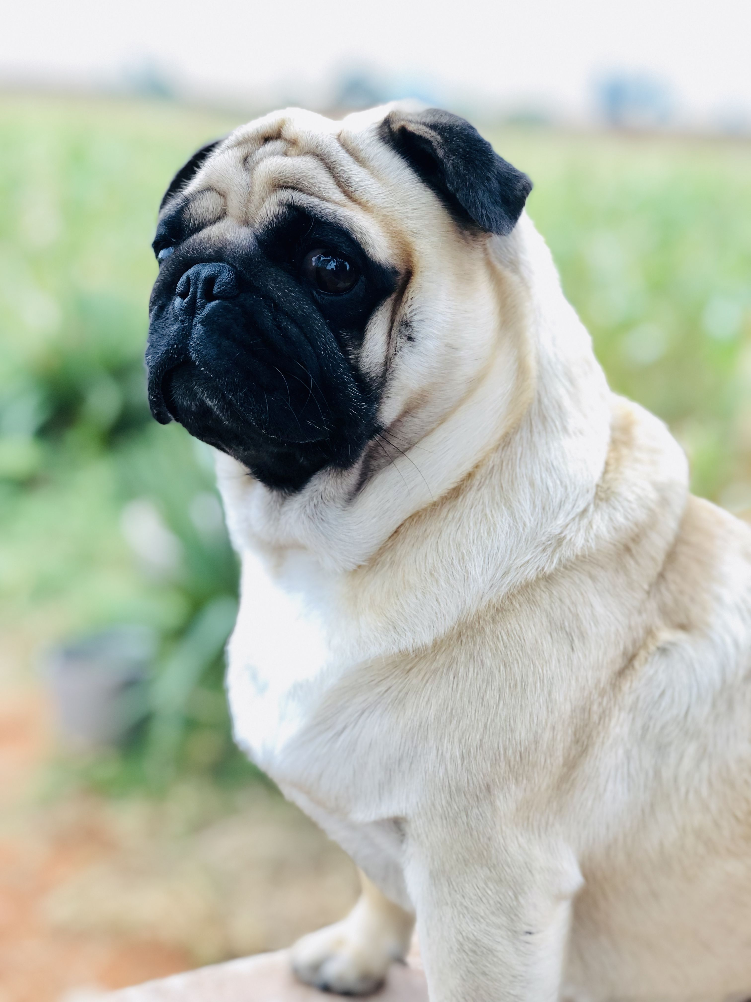 Heads Up The Snacks Are On The Way Cute Pug Puppies Pugs