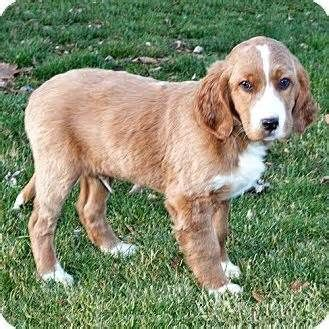 Golden Retriever English Setter Mix Puppy For Sale In Howell Michigan Golden Retriever Dogs Golden Retriever English Golden Retrievers