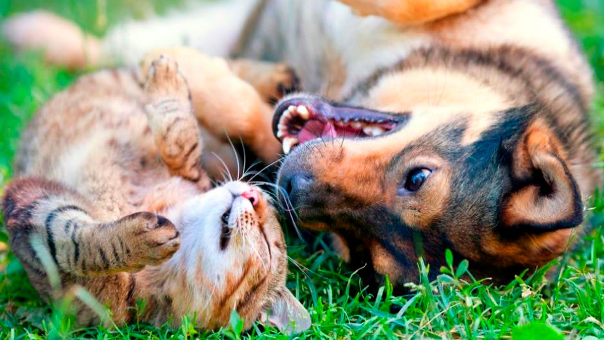 Dogs And Cats Playing With Each Other R Aww Animals Oils For Dogs Dog Cat
