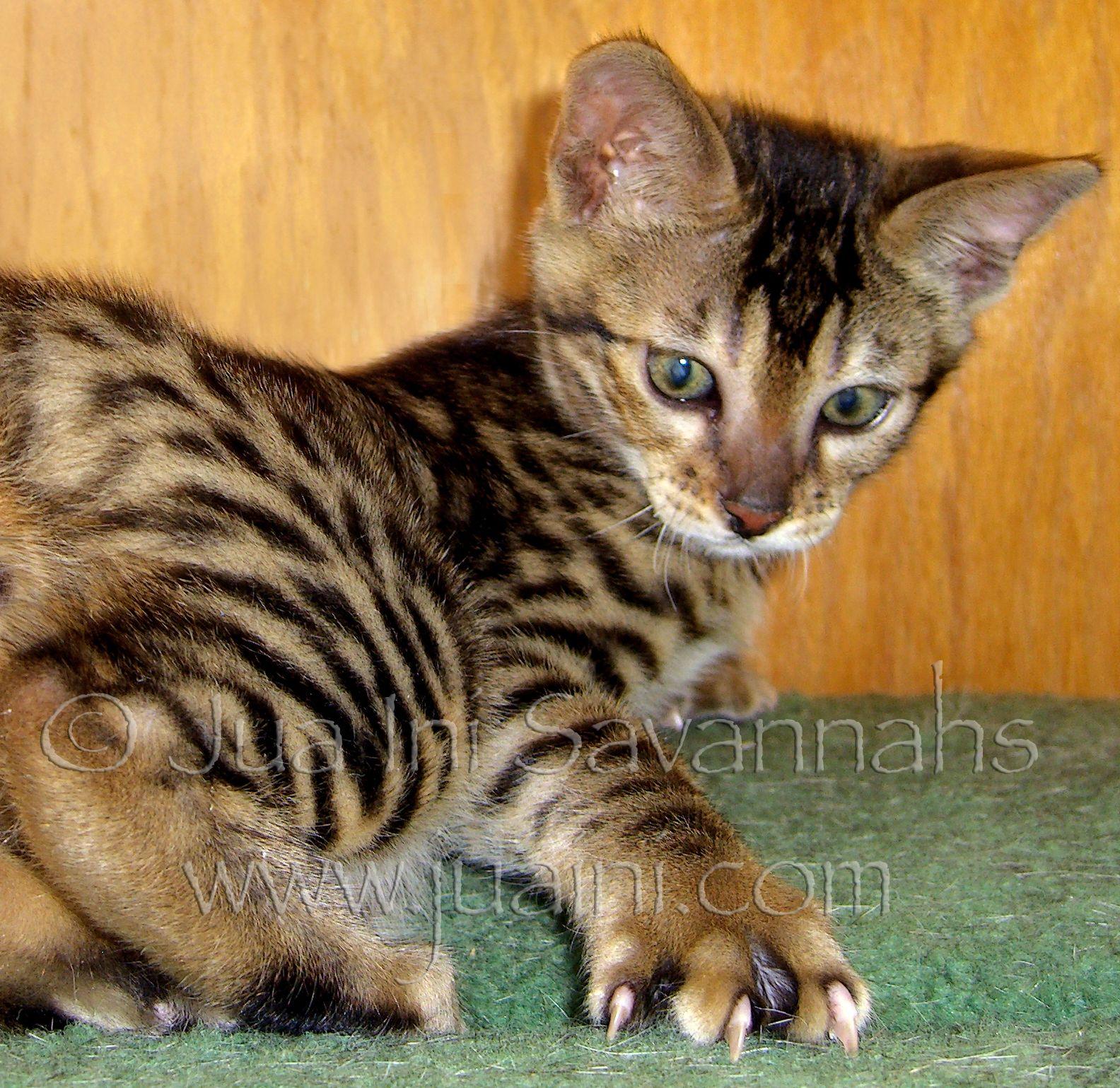 Available Savannah Cats (With images) Savannah kitten