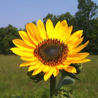 Leave your sunflowers alone at the end of the year and next year they will reseed