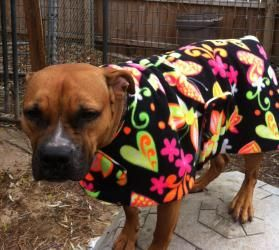 Adopt Fergie On Paws Rescue Boxer Dogs Dogs