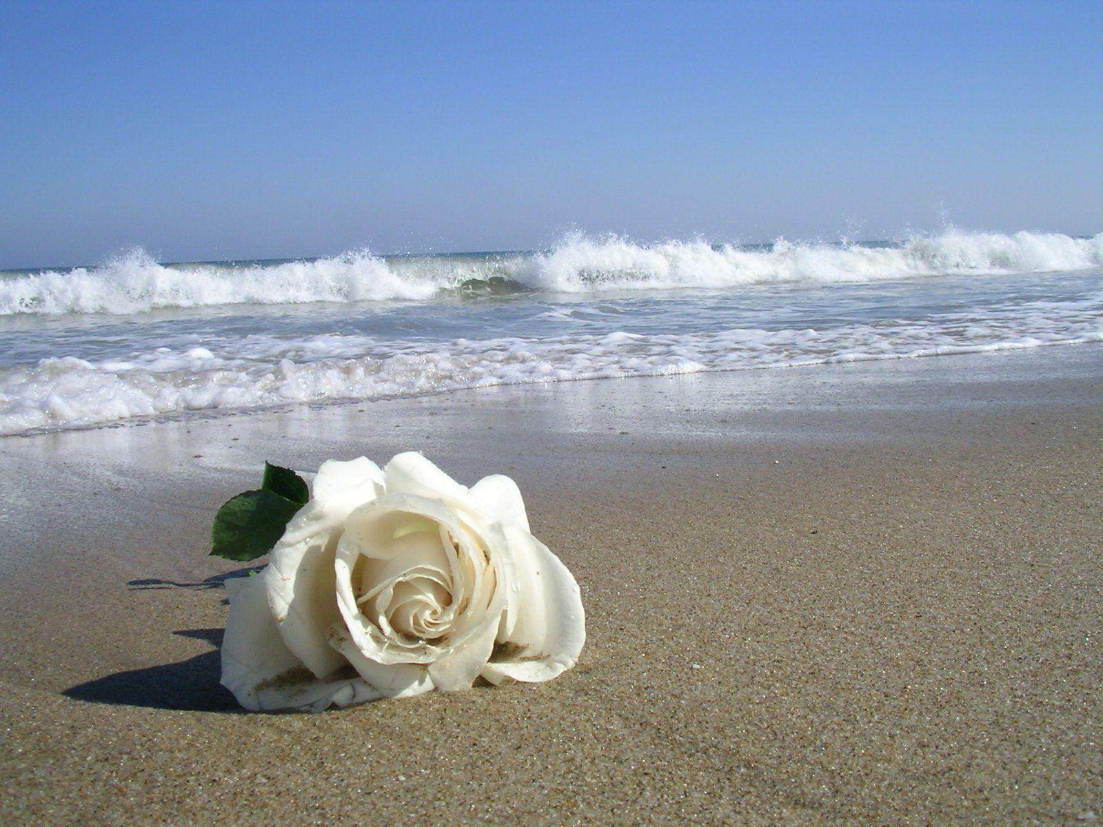 Rosa Blanca Y Mar Flores Pinterest Flowers Love Y Beautiful