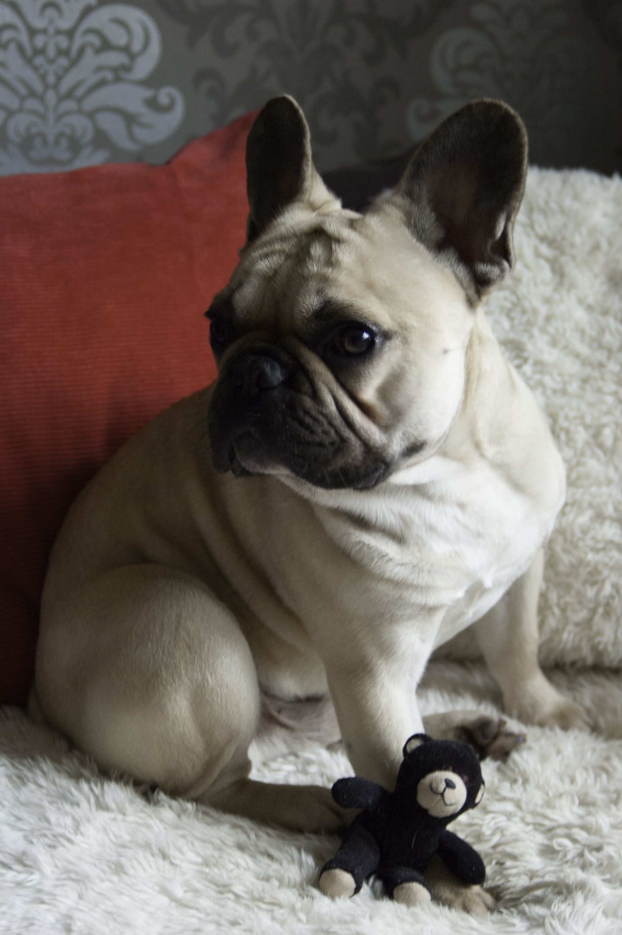 Spencer Animals, Dogs, French bulldog