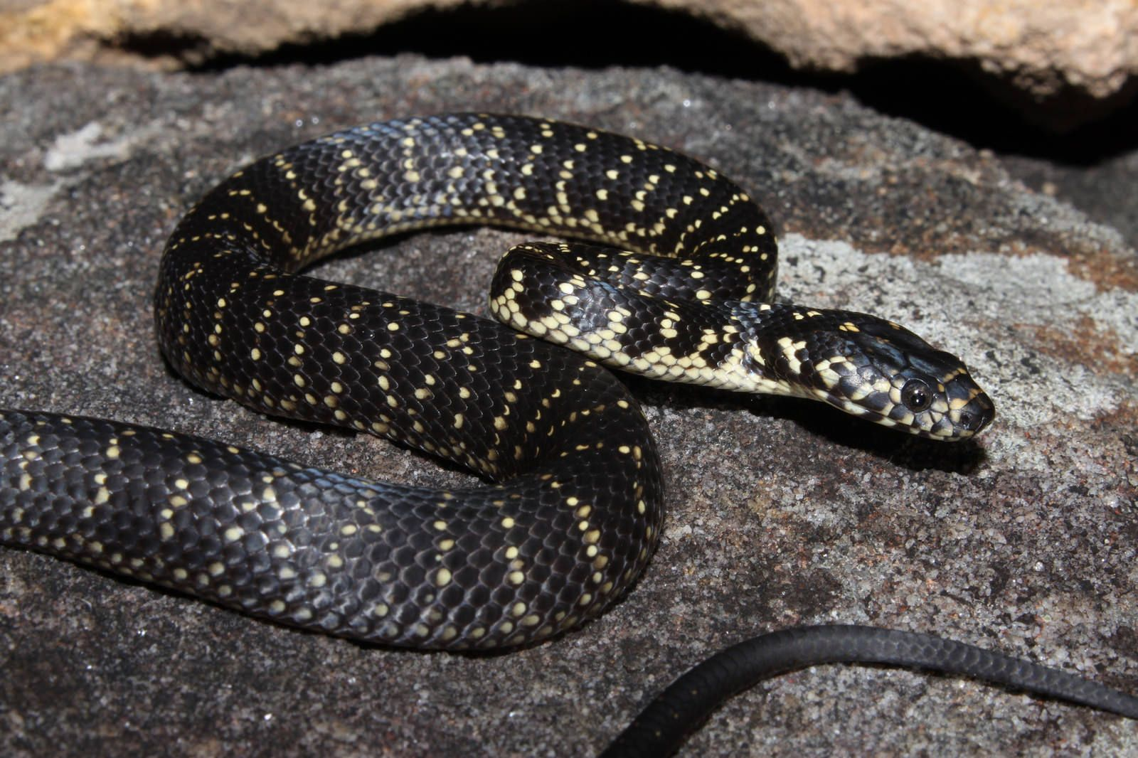 Broad Headed Snake | by Jackson Bishop